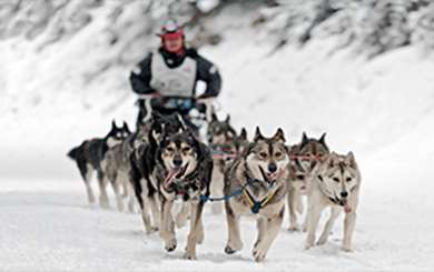 Image of a man driving a dog sled team in the snow