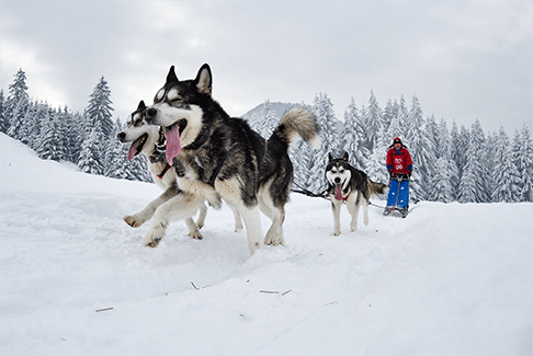 Image of happy dogs pulling a man on a sled in the snow